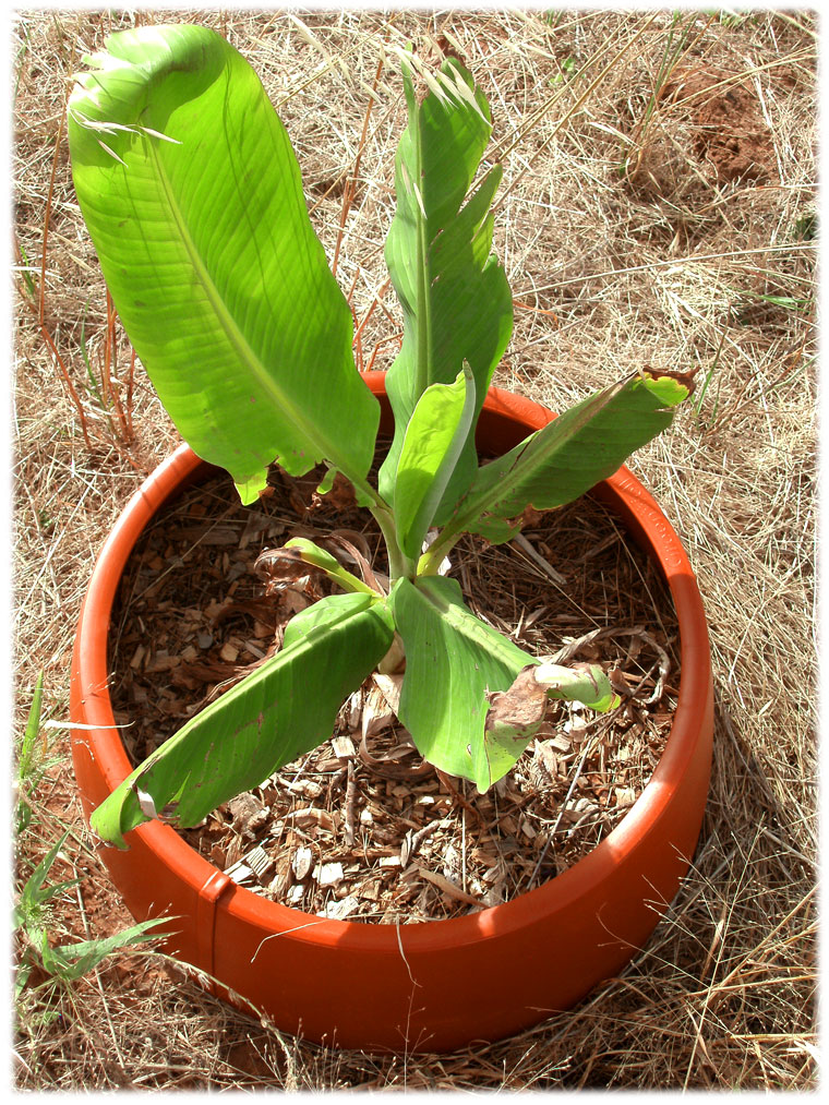 Banana Palm pot plant